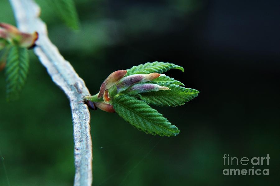 New Beginnings - River Birch Tree Photograph