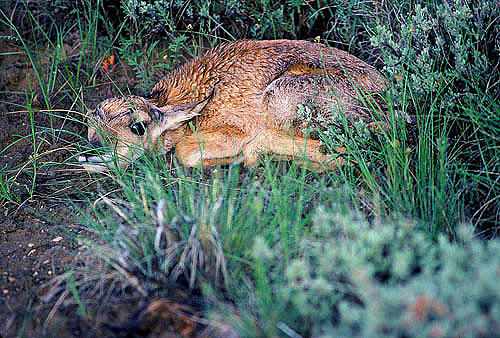 Antelope Photograph - New Born Antelope by Dennis Hammer
