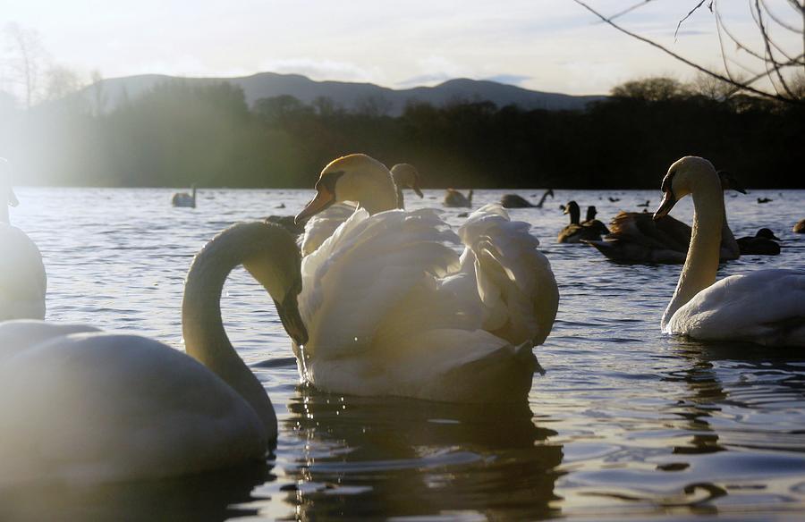 Sony Photograph - Duddingston Swan 11 by Nik Watt