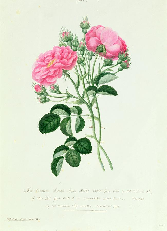New Drawing - New Crimson Double Sweet Briar Of New York by Pierre Joseph Redoute