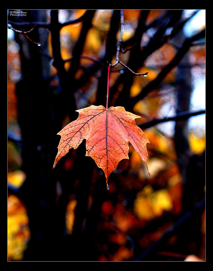 Fall Leaves Photograph - New England Fall - Lone by William Bray