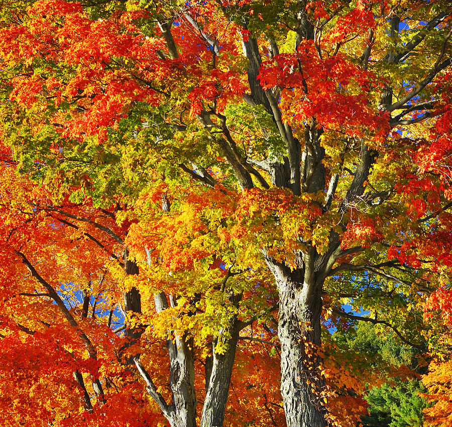 New England Sugar Maples by Luke Moore