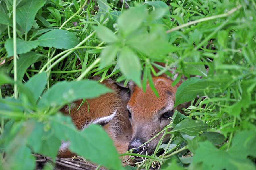 New Fawn Afternoon Photograph