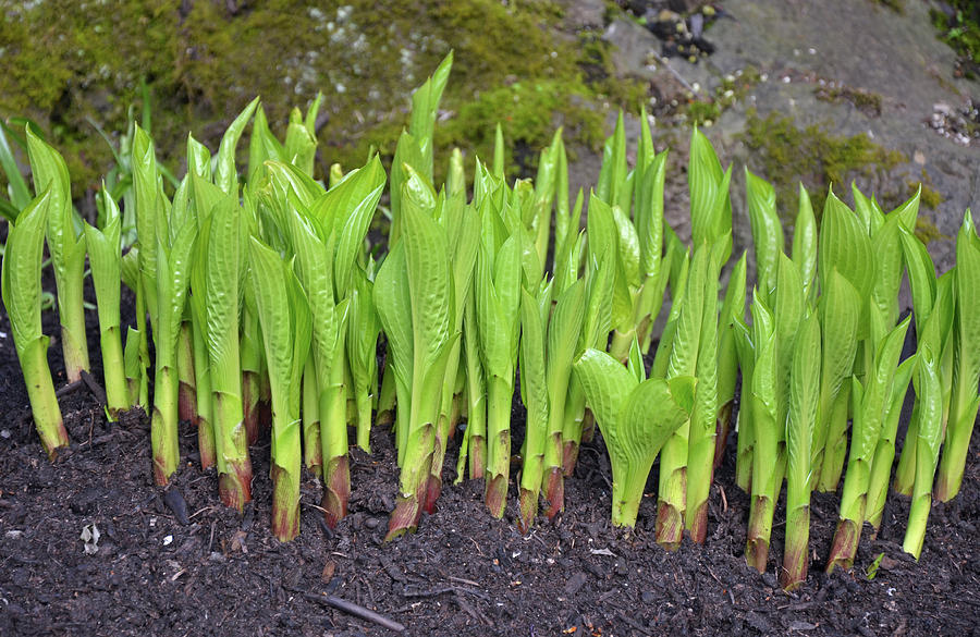 Plant Photograph - New Green Spring Shoots by Perl Photography