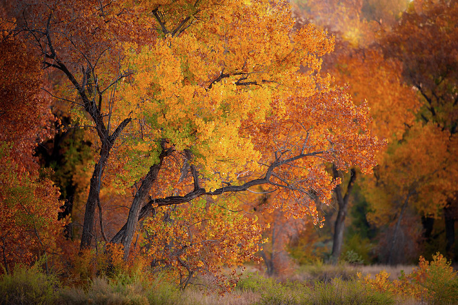 Cottonwood Tree Photograph - New Mexico Gold by Jeff Phillippi