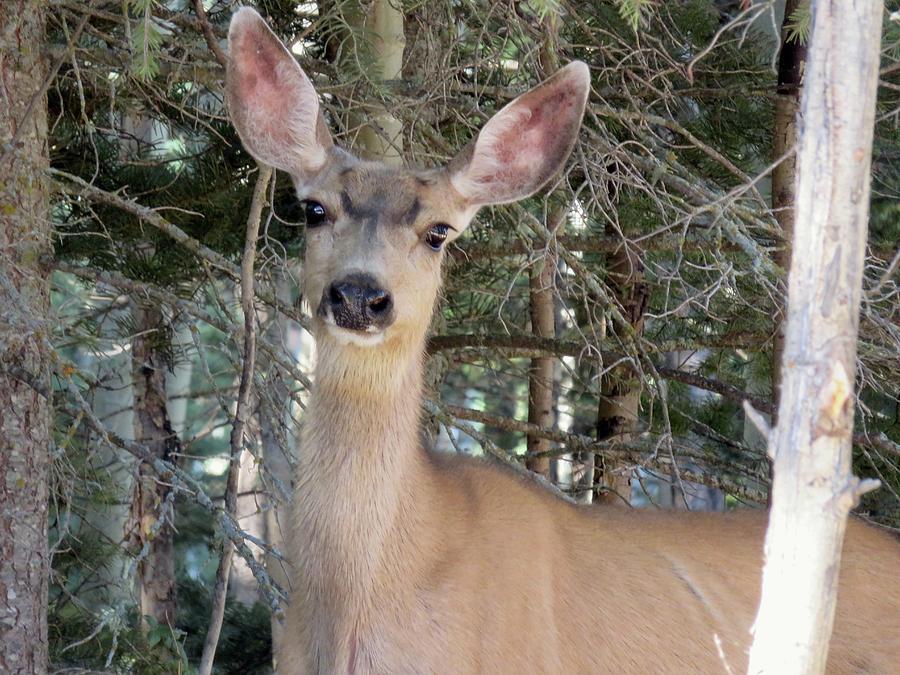 New Mexico Mule Deer Doe by Judith Lauter
