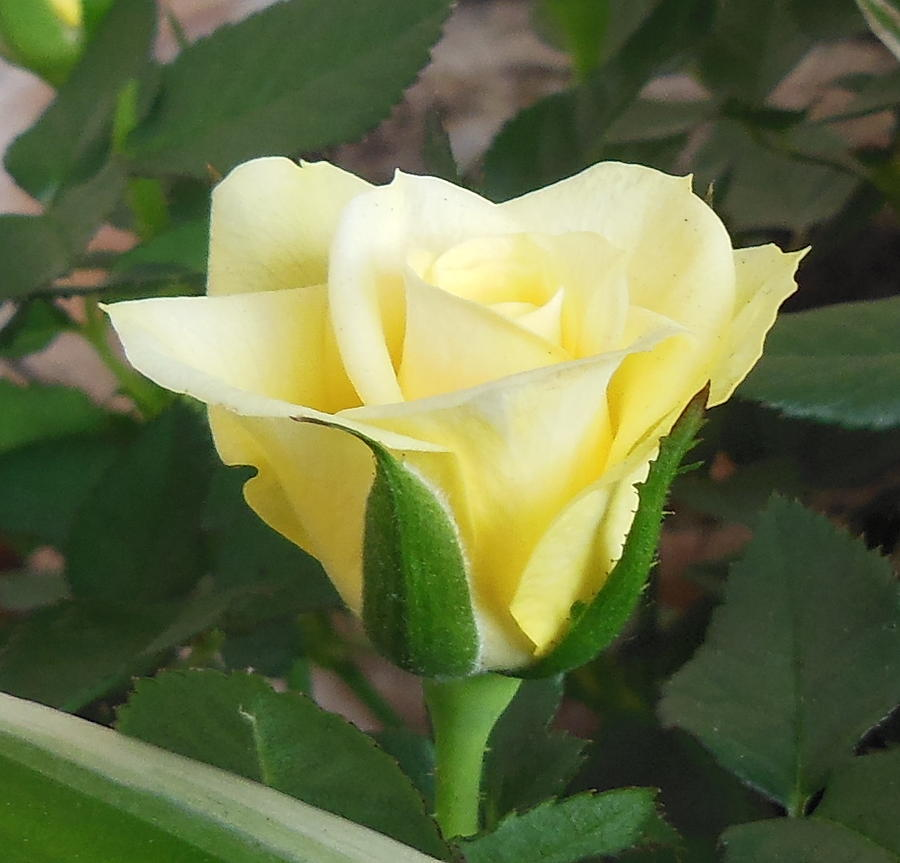 Florals Photograph - New Rose On My Balcony by Marie-Claire GALLET