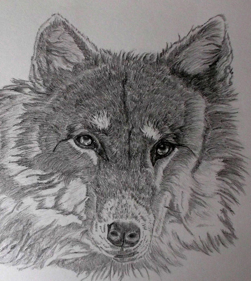 Wolf Drawing - Wolf. by Cynthia Adams