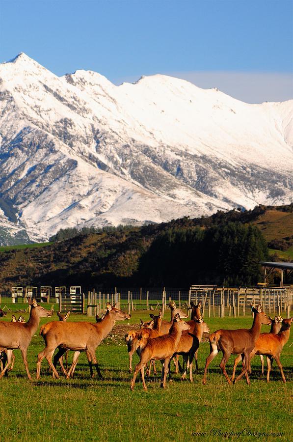 Landscape Photograph - New Zealand Deer 3497 by PhotohogDesigns