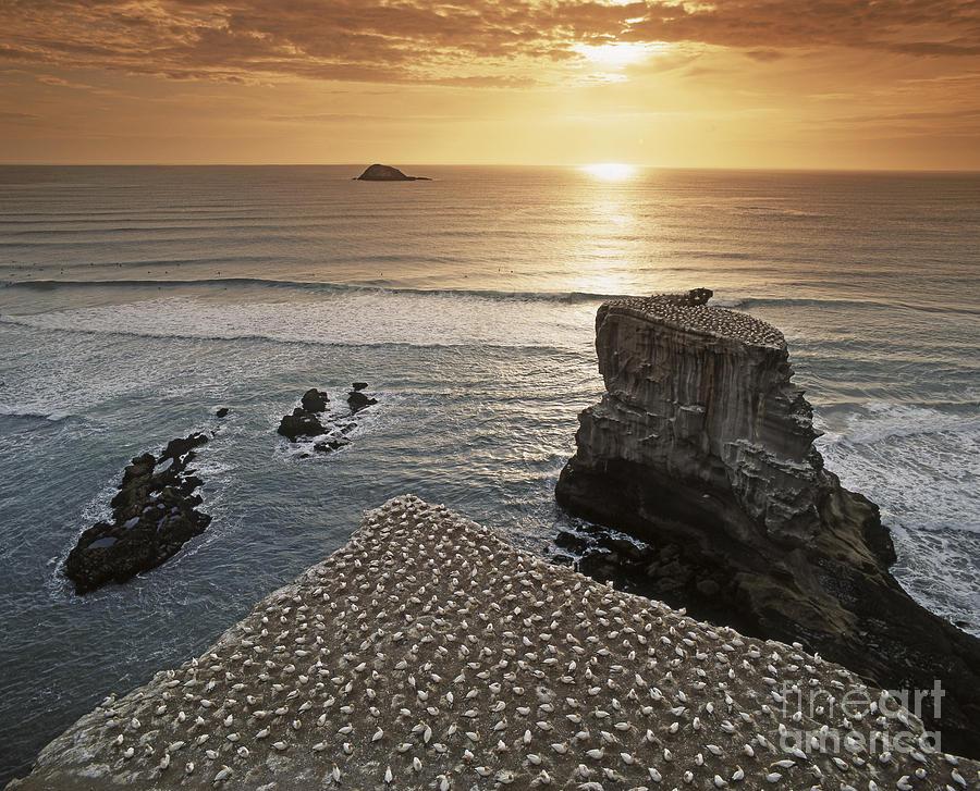 Beach Photograph - new zealand gannet colony at muriwai beach ,gannet fly from Muri by Juergen Held
