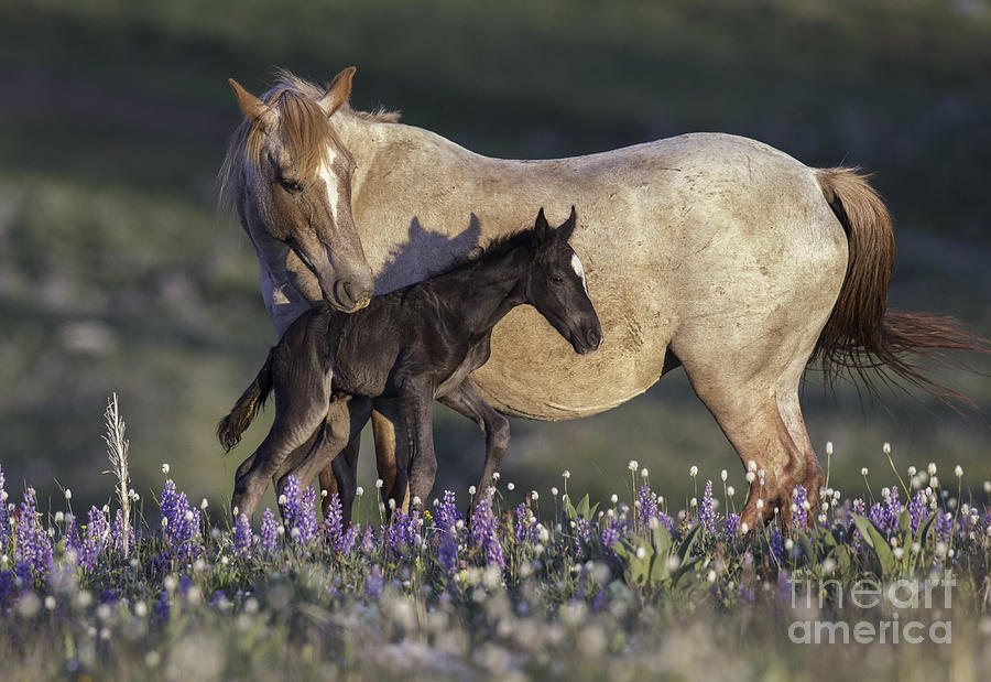 Carol Walker Photograph - Newborn Filly At Dawn by Carol Walker