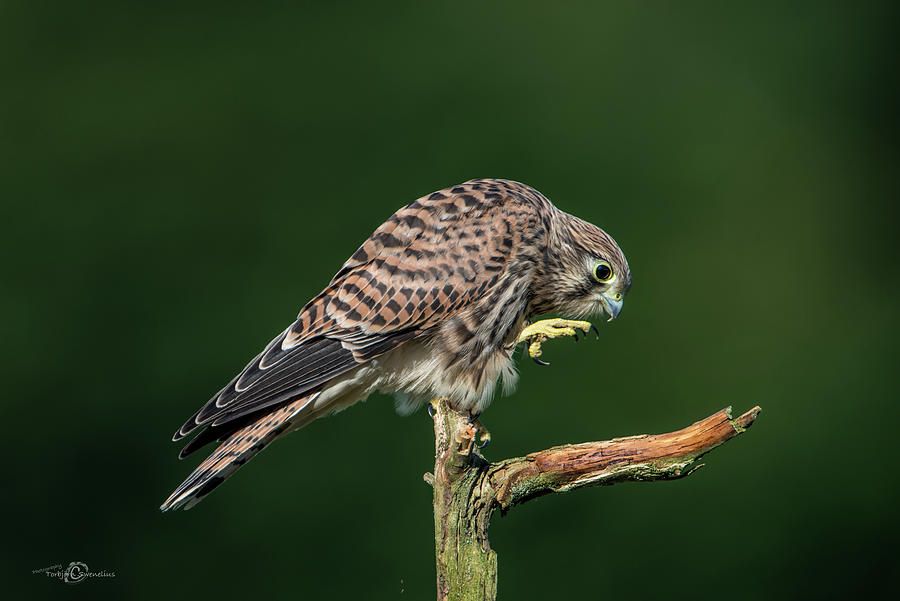 Next Step Of The Young European Kestrel Photograph