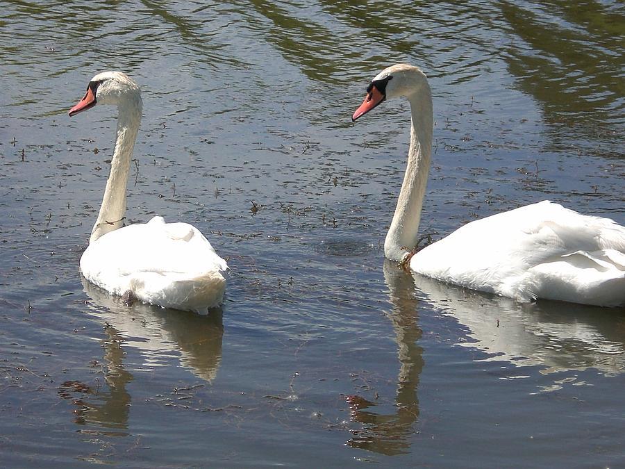 Swans Photograph - Nice Sunny Day by Sholeh Mesbah