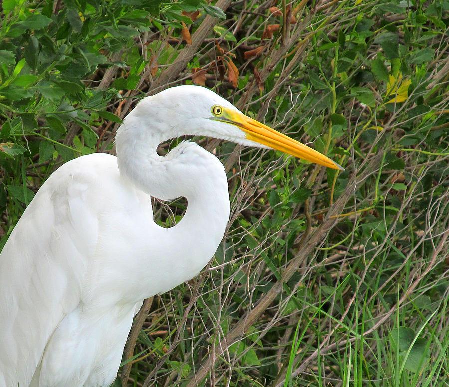 Nice Tampa Bay Egret Photograph