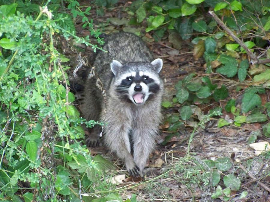 Digital Photography Photograph - Nick The Raccoon by Laurie Kidd
