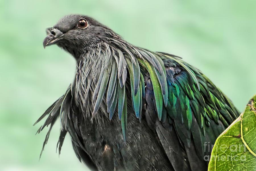 Nicobar Pigeon Photograph