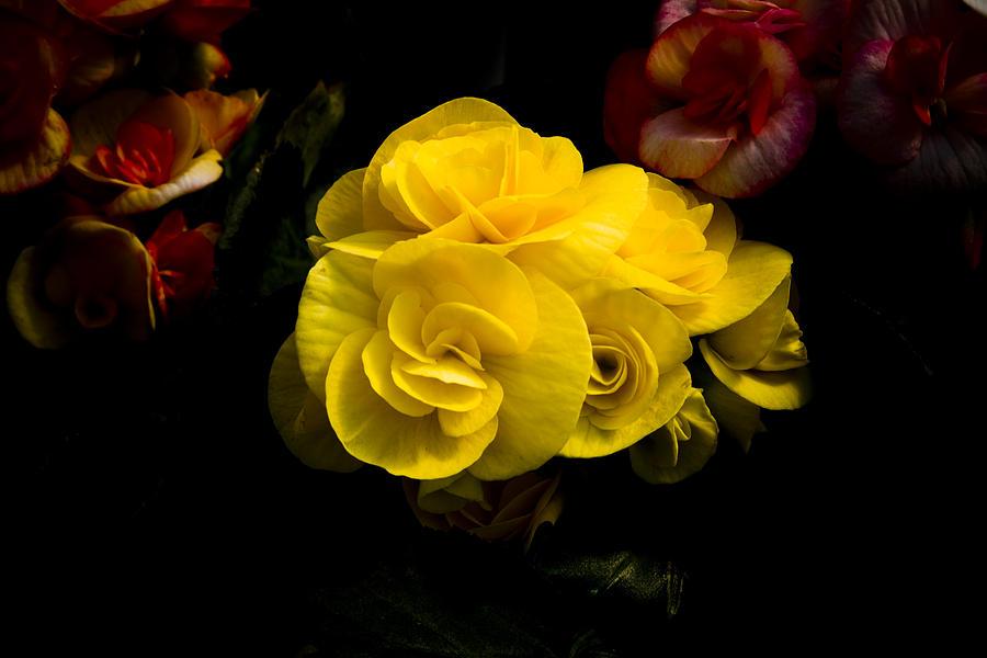 Begonia Photograph - Night Begonias Four by John Ater