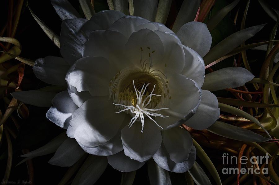 Cereus Photograph - Night-blooming Cereus Deep 2 by Warren Sarle