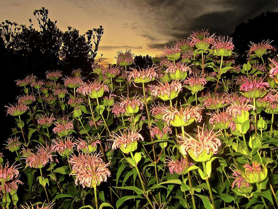 Flowers Photograph - Night Garden Series by Elizabeth Tillar