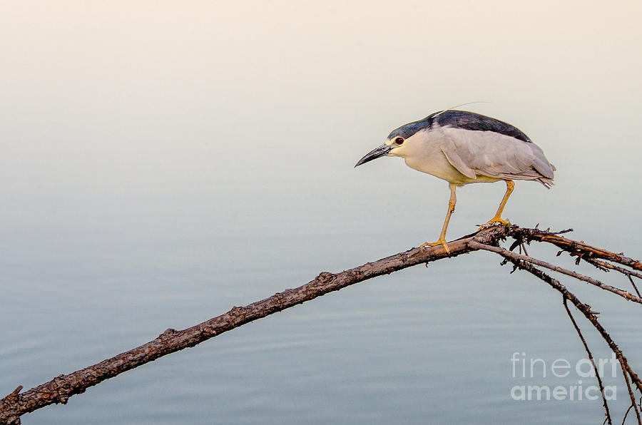 Bird Photograph - Night Heron by Emily Bristor