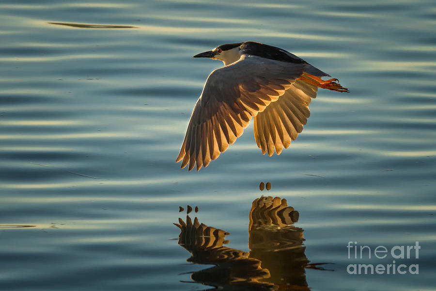 NIGHT HERON FLIGHT by Alice Cahill