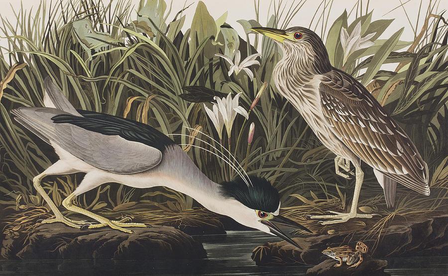 Night Heron Painting - Night Heron Or Qua Bird by John James Audubon