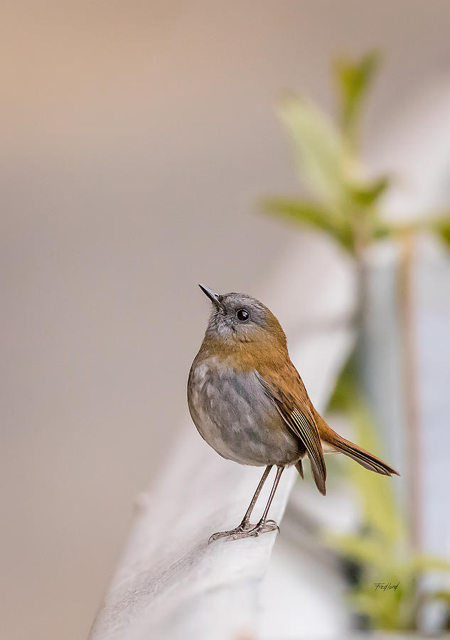 Bird Photograph - Nightingale by Fred J Lord