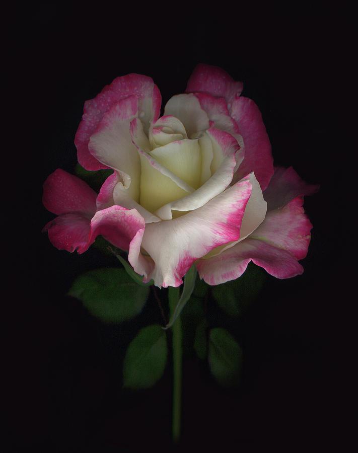 Rose Digital Art - Nikis Rose by Sandi F Hutchins