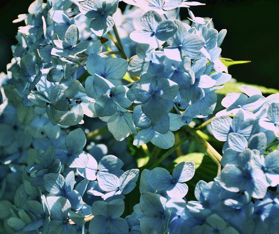 Hydrangea Photograph - Nikko Blues by JAMART Photography