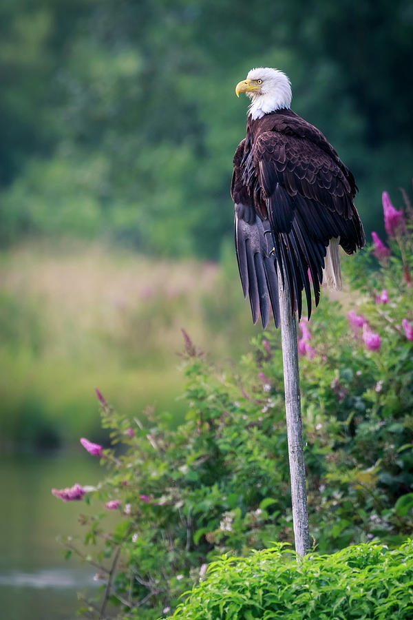 Bald Eagle Photograph - No Worries by Windy Corduroy