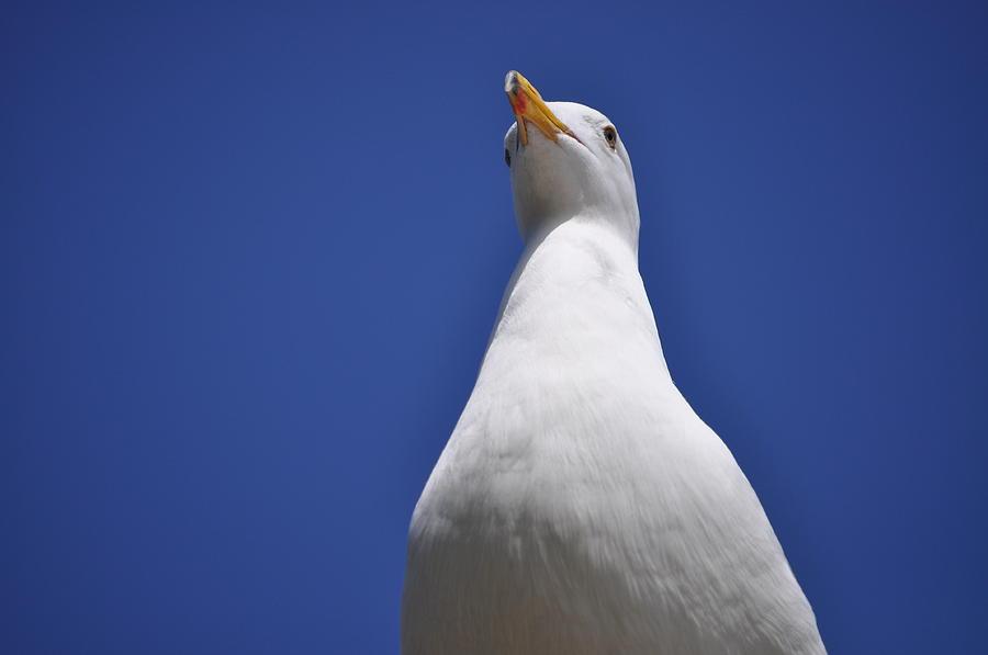 Seagull Photograph - Noble by Bridgette Gomes