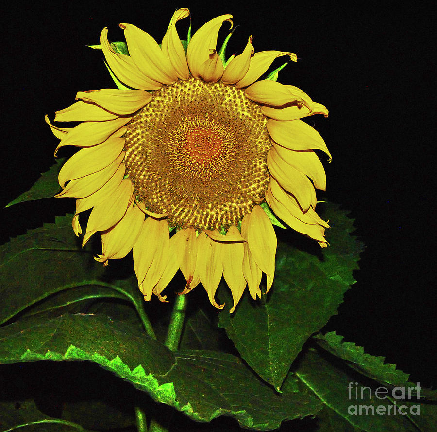 Noctural Sunflower Power by George D Gordon III