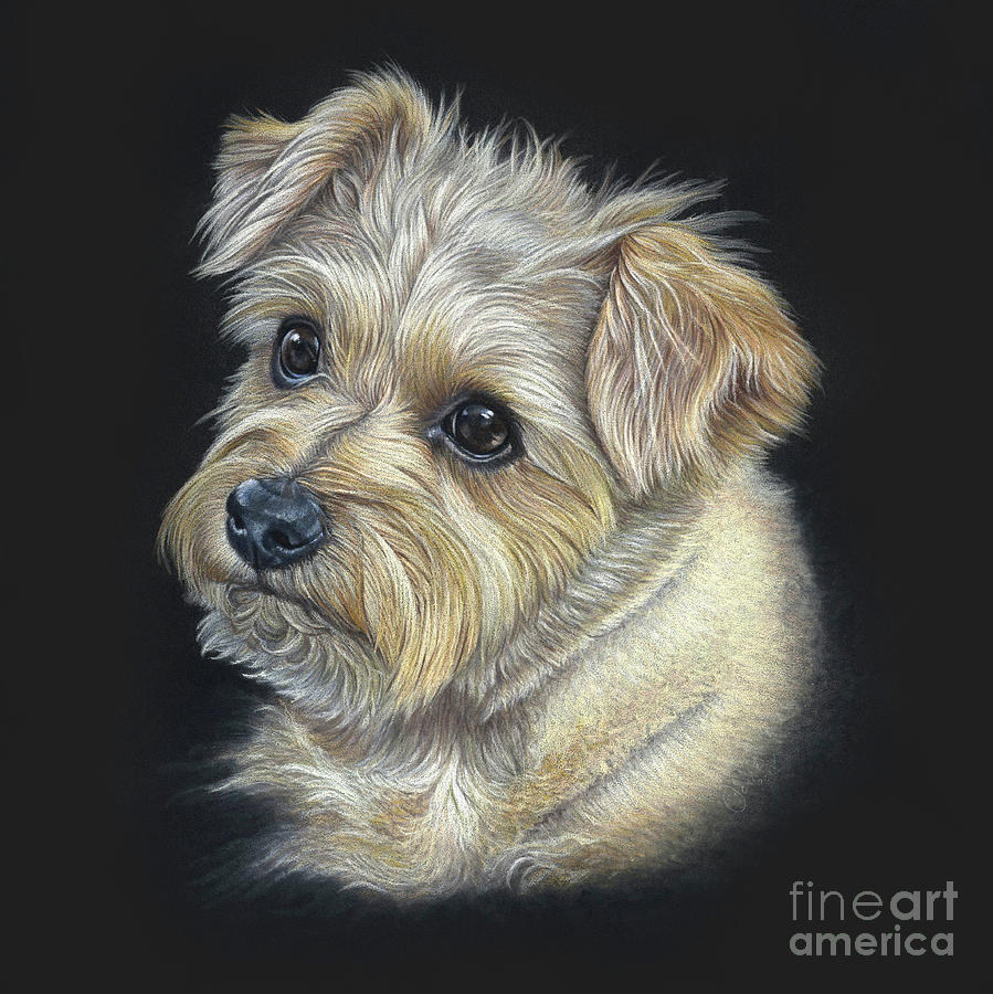 Norfolk Terrier hattie Drawing by Donna Mulley