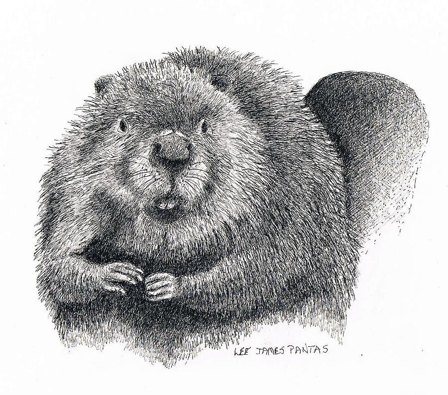 Beaver Drawing - North American Beaver by Lee Pantas