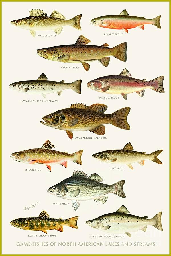 North american game fish painting by pg reproductions for Freshwater fishing in massachusetts