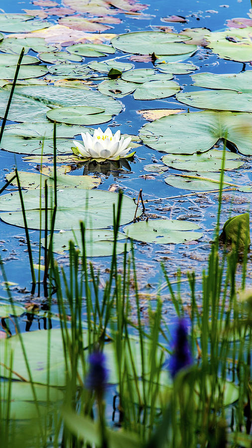 North American White Water Lily Photograph