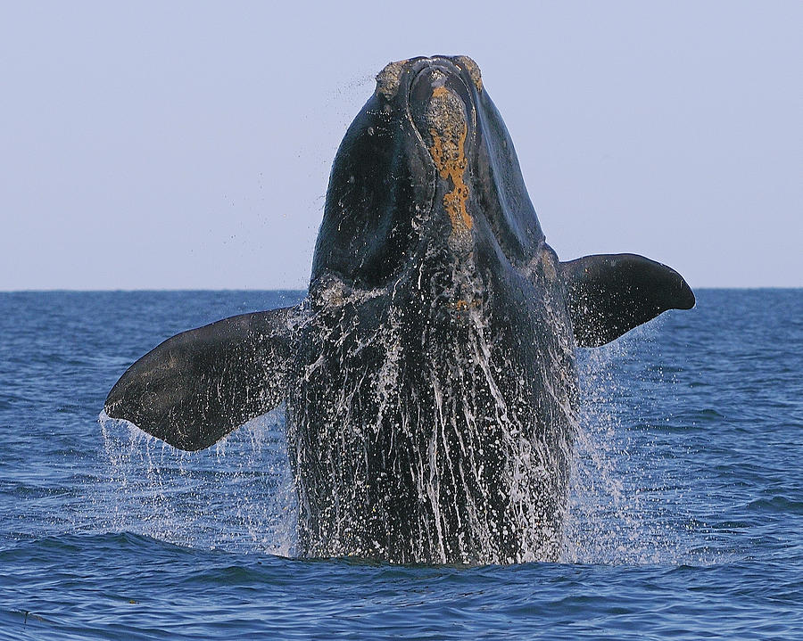 Tony Beck Photograph - North Atlantic Right Whale Breaching by Tony Beck