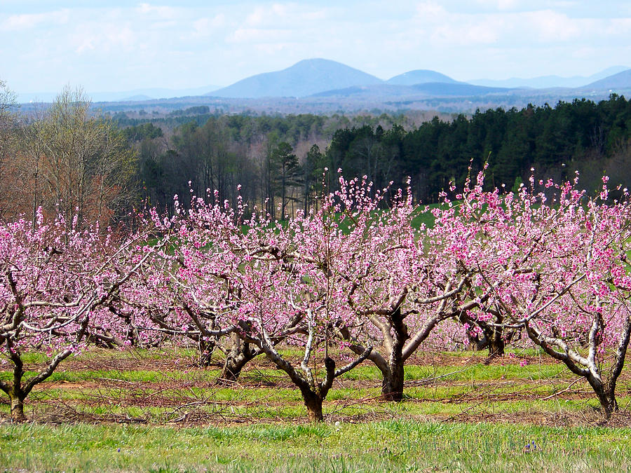 Peaches Photograph - North Georgia Peach Trees In Bloom by Judy Grindle Shook