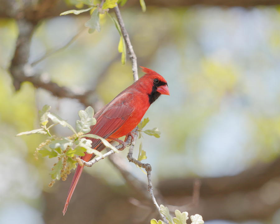 Northern Cardinal by John Moyer