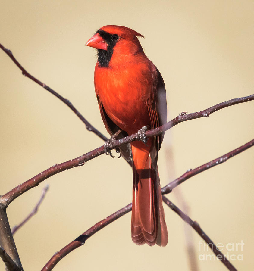 Canon Photograph - Northern Cardinal Profile by Ricky L Jones