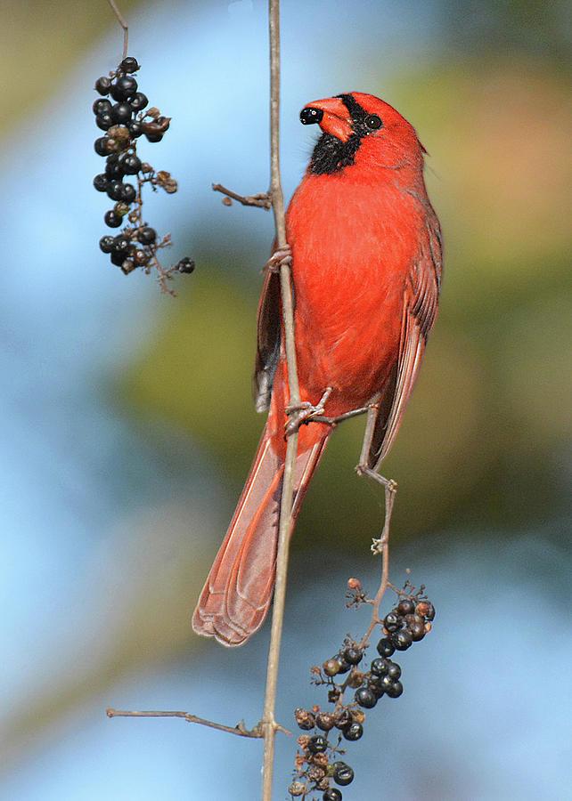 Bird Photograph - Northern Cardinal With Berry by Alan Lenk
