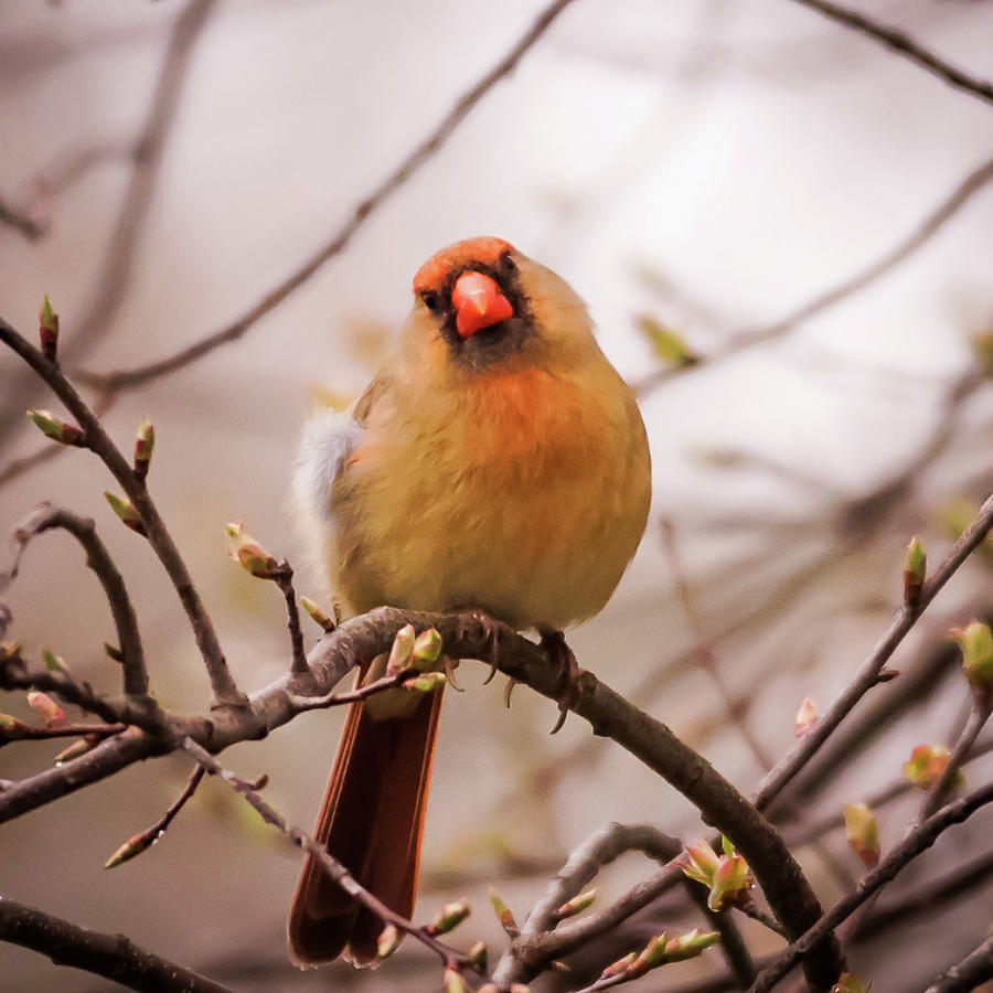 Northern Female Cardinal Pose Photograph