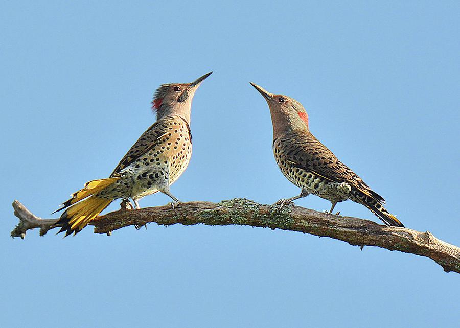 Bird Photograph - Northern Flickers Communicate by Alan Lenk