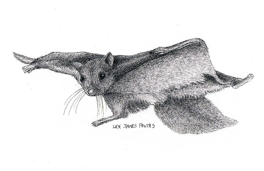 Squirrel Drawing - Northern Flying Squirrel by Lee Pantas
