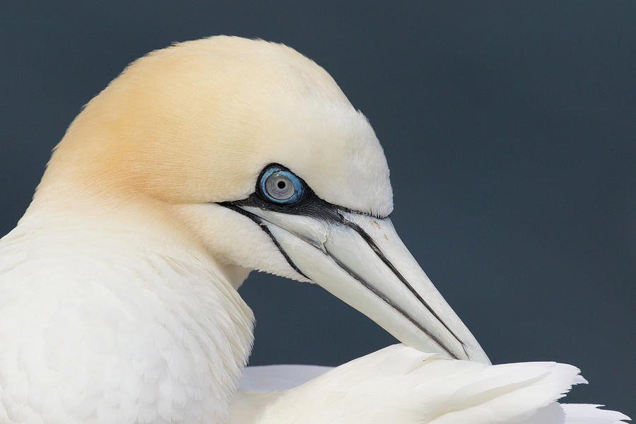 Northern Gannet at Troup Head - Scotland by Karen Van Der Zijden