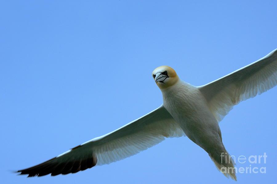 Animal Photograph - Northern Gannet Flying Through Blue Skies by Sami Sarkis