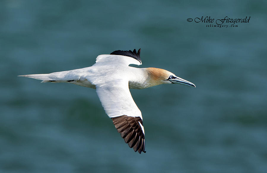 Northern Gannet by Mike Fitzgerald
