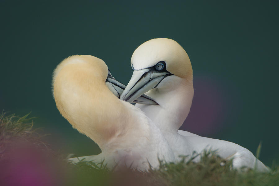 Yorkshire Photograph - Northern Gannets by Andy Beattie Photography