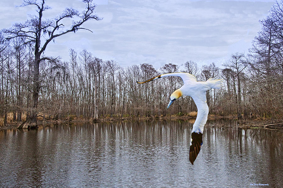 Waterfowl Photograph - Northern Gannett In The Marsh  by Bill Perry