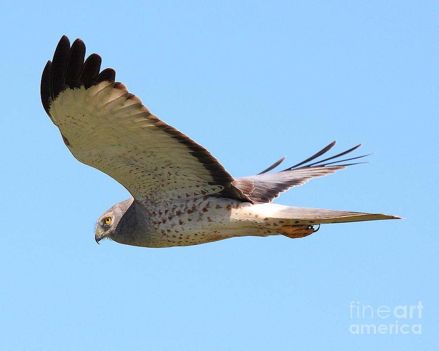 Animal Photograph - Northern Harrier In Flight by Wingsdomain Art and Photography